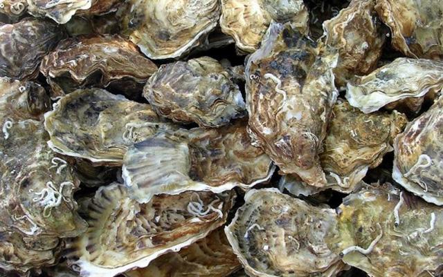 oyster หอยนางรม